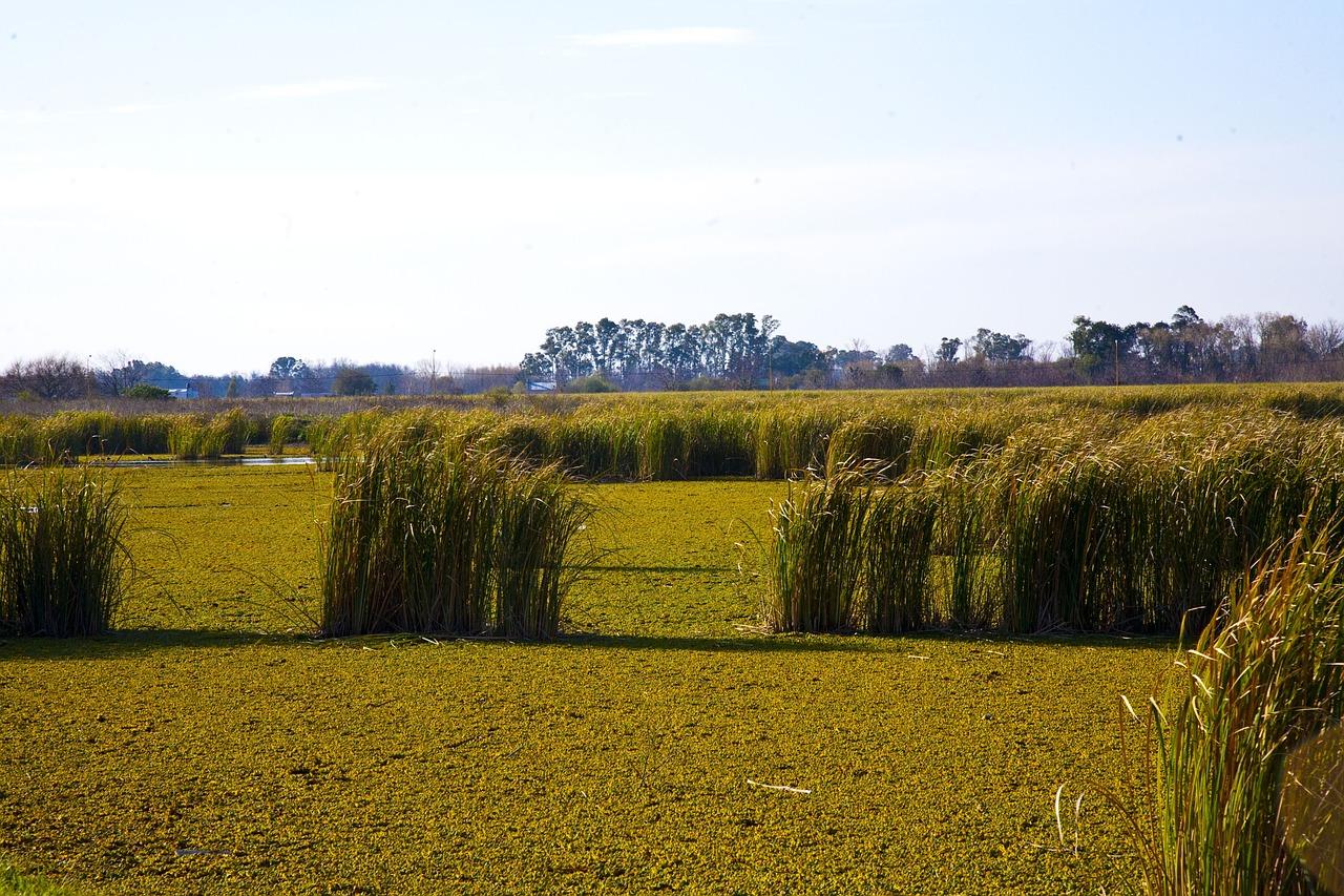 L'herbe de la Pampa,une plante invasive